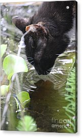Drinking Kitty Acrylic Print