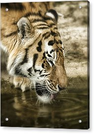 Acrylic Print featuring the photograph Drinking Tiger by Chris Boulton