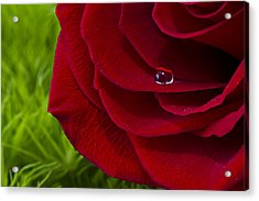Drop On A Rose Acrylic Print