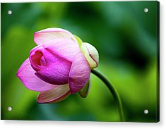 Acrylic Print featuring the photograph Droplets On Lotus by Edward Kreis