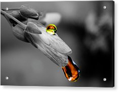 Drops On A Blossom Acrylic Print