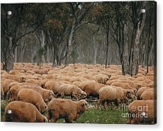 Droving Sheep  At Albert Australia Acrylic Print