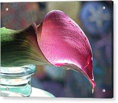 Drowsy Calla Lily Acrylic Print by Angela Davies