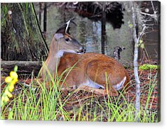 Acrylic Print featuring the photograph Drowsy Deer by Al Powell Photography USA