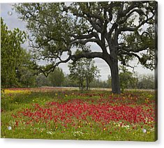Acrylic Print featuring the photograph Drummonds Phlox Meadow Near Leming Texas by Tim Fitzharris