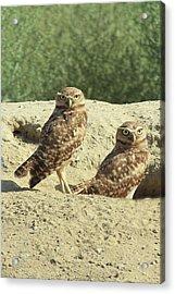 Dual Burrowing Owls, Athene Cunicularia Acrylic Print by Renee Sinatra