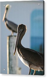 Dual Pelicans Acrylic Print by Mary Haber