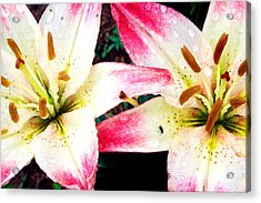 Dual Pinks II Acrylic Print by Amanda Kiplinger
