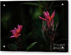 Dual Red Plumerias Acrylic Print