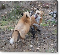 Dualing Red Foxes Acrylic Print by Ken Cornett