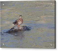 Duck Alone On The Rock Acrylic Print