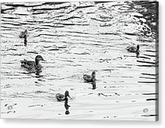 Duck And Ducklings Acrylic Print