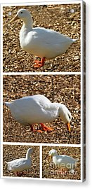 Acrylic Print featuring the mixed media Duck Collage Mixed Media A51517 by Mas Art Studio