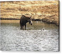 Ducks - Moose Rollinsville Co Acrylic Print
