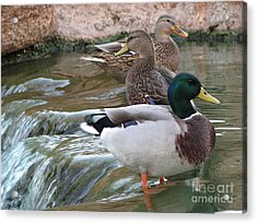 Duck Fall Acrylic Print