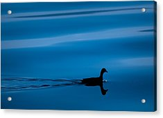 Duck Floating On A Lake Acrylic Print by Dane Strom