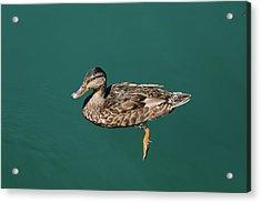 Duck Floats Acrylic Print