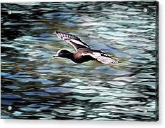 Duck Leader Acrylic Print