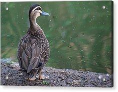 Duck Look Acrylic Print