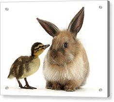 Duck Out Bunny Acrylic Print