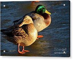 Duck Pair Sunbathing On Frozen Lake Acrylic Print