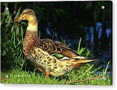 Duck Quack Beauty Acrylic Print by Deborah Benoit