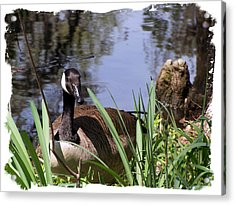 Duck Acrylic Print by Ralph  Perdomo