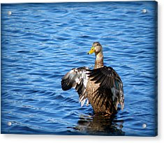 Duck Acrylic Print by Rose  Hill