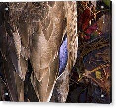 Duck Acrylic Print by Steve Kenney