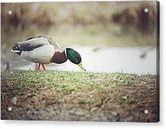 Duck Walk Acrylic Print