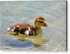 Duckling 7 Acrylic Print
