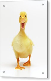 Duckling Acrylic Print by Don Farrall
