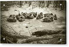 Duckling Siblings - Sepia Acrylic Print