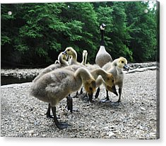 Ducklings Acrylic Print by Bill Cannon