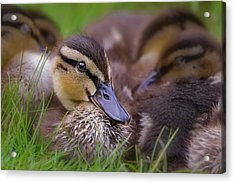 Acrylic Print featuring the photograph Ducklings Cuddling by Susan Candelario