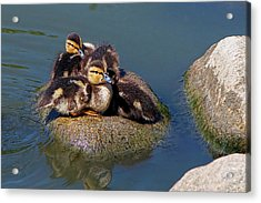 Ducklings On A Rock Acrylic Print by Sharon Talson