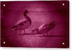 Ducks #1 Acrylic Print
