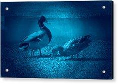 Ducks #2 Acrylic Print
