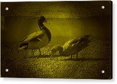Ducks #3 Acrylic Print