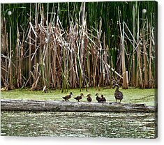 Ducks All In A Row Acrylic Print