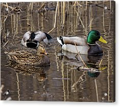 Acrylic Print featuring the photograph Ducks At Bombay Hook by Robert Pilkington