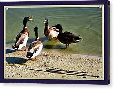 Ducks Conferencing Acrylic Print by Francesco Roncone