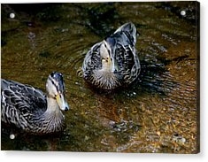 Acrylic Print featuring the photograph Ducks In A Row by Paul SEQUENCE Ferguson             sequence dot net