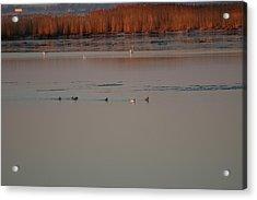 Ducks Acrylic Print by Marc Van Pelt