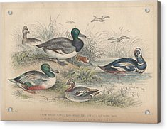 Ducks Acrylic Print by Dreyer Wildlife Print Collections