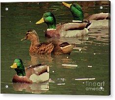 Ducks Race Acrylic Print