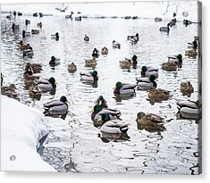 Ducks Swimming By Snowy Shore Acrylic Print
