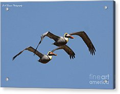 Duel Pelicans In Flight Acrylic Print