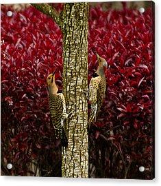 Dueling Woodpeckers Acrylic Print
