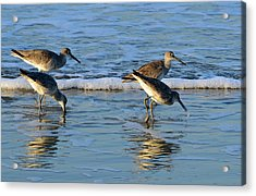 Dunking Willets Acrylic Print by Bruce Gourley